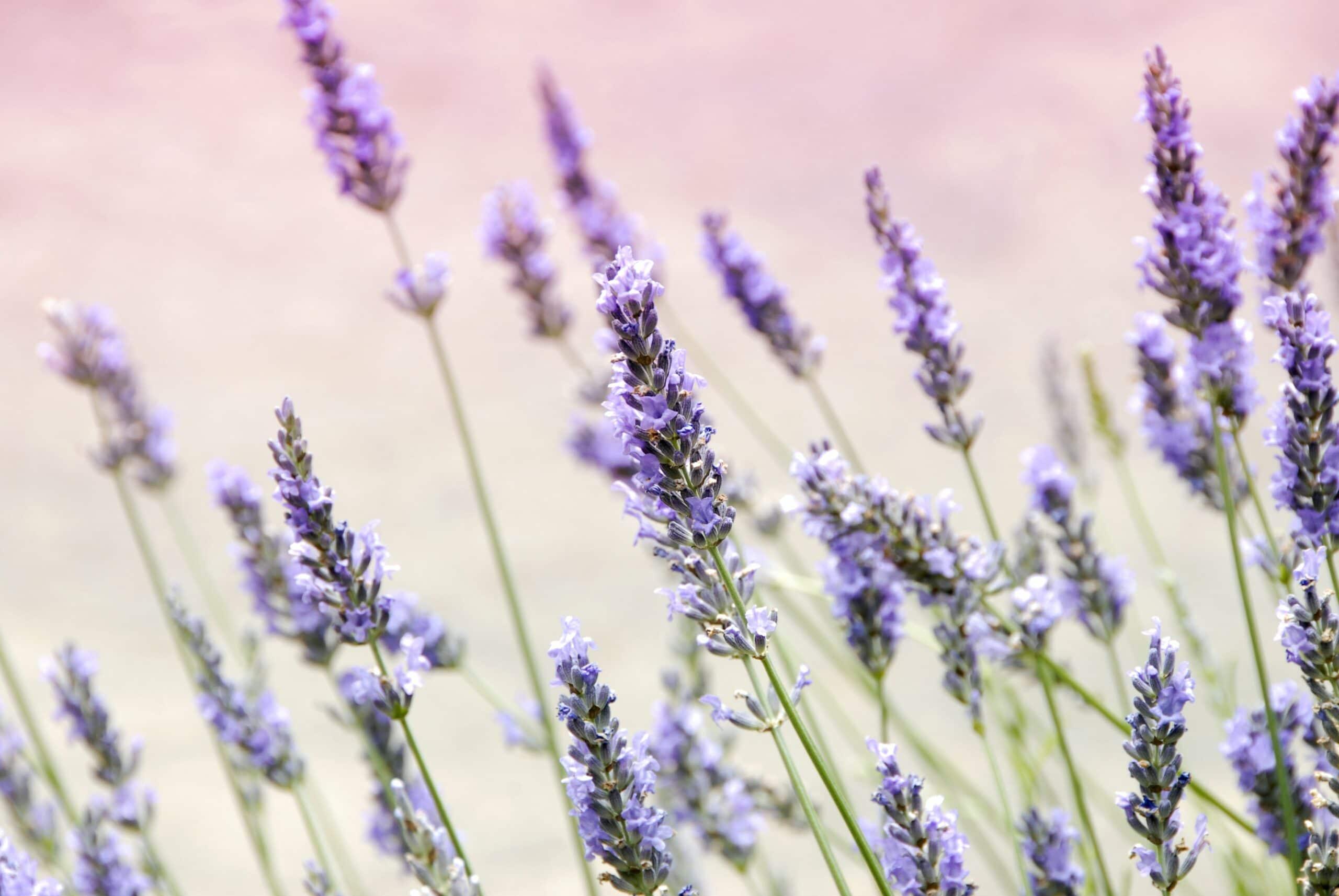 Lavendel bei Schlafstörungen